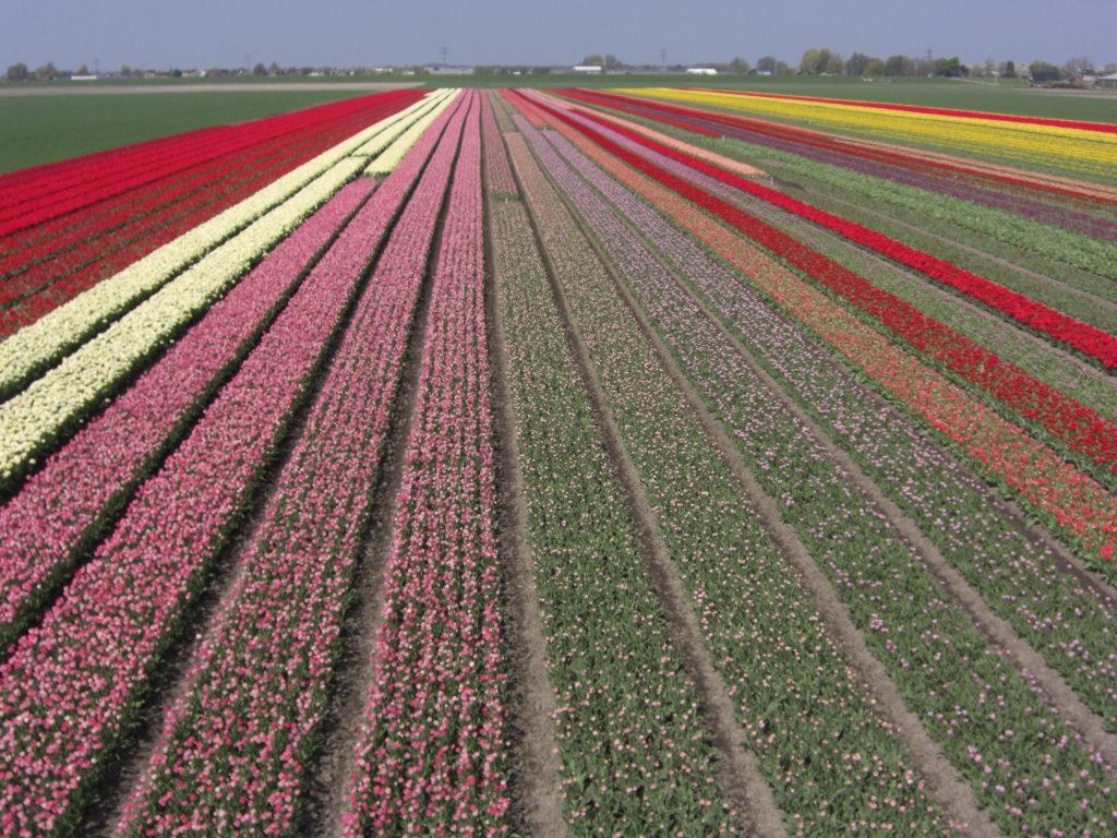 Aerfotos Bollenvelden, Hoofdweg Westzijde, Abbenes, NL, 2009-04-19